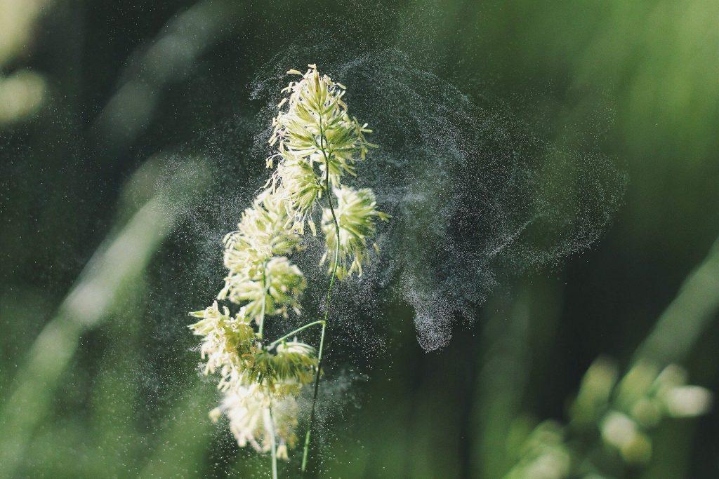 Einzelne grüne Pflanze im Pollenstaub