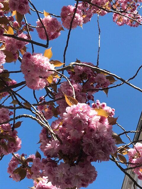 dicke Kirschblüten vor dem blauen Himmel